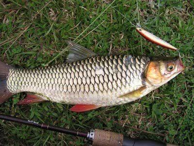 Umpan mancing ikan jelawat