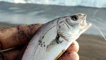 Umpan ikan bojor