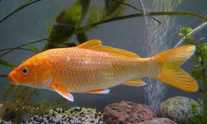 Jenis Ikan Mas yang Bisa Dibudidayakan