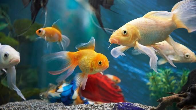Cara budidaya ikan hias