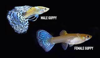 Cara mengawinkan ikan guppy