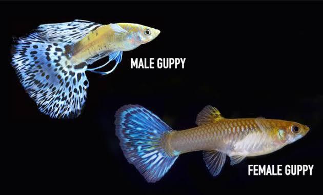 Cara memilih indukan ikan hias