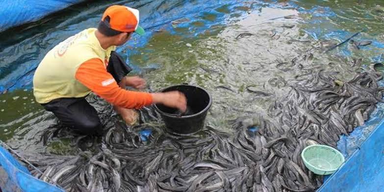 Aturan pemberian makan ikan lele